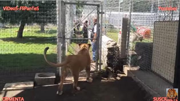 ¡Así reaccionó una leona al ver a su anterior cuidador! [VIDEO]
