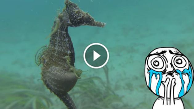 ¿Alguna vez viste a un caballito de mar dando a luz? ¡Míralo ahora!