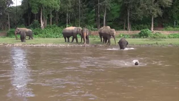¡Elefante salva a su cuidador de ser arrastrado por el río! [VIDEO]