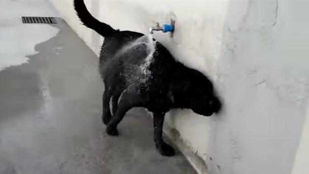 Esta perrita abre sola el caño y se baña sin problemas. ¡Tienes que verlo! [VIDEO]