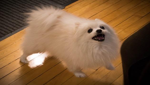 Falleció 'Gabe', el perro cantante de YouTube [VIDEO]