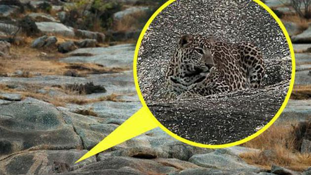 ¡Un nuevo reto! ¿Puedes ubicar al leopardo en esta foto?