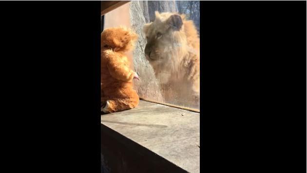¡Mira cómo reaccionó este león al ver a un niño disfrazado! [VIDEO]