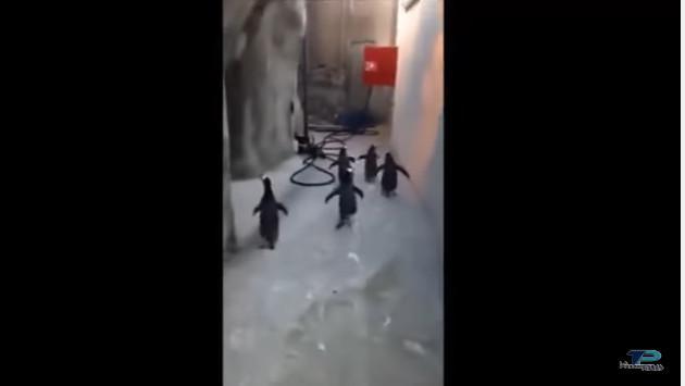 ¡Mira el intento fallido de estos pingüinos por escapar de un zoológico! [VIDEO]