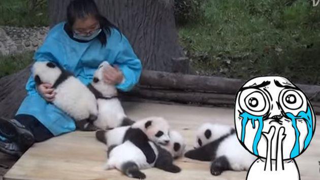 OMG! No creerás cuánto gana un cuidador de osos panda [VIDEO]