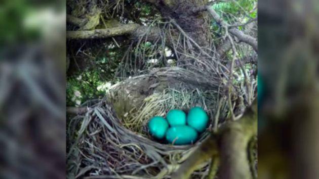 Quiso grabar el nacimiento de polluelos, pero no esperaba que esto pasara [VIDEO]