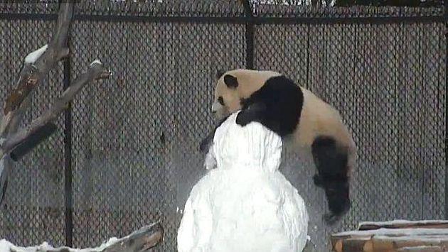 Un panda 'lucha' contra un muñeco de nieve. ¡Tienes que ver este video!