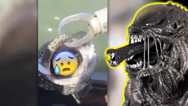 Mismo Alien, este pez sacó de su boca algo muy aterrador [VIDEO]