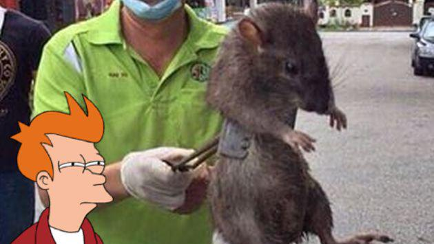 ¿Cazaron una rata gigante en un colegio? No creas todo lo que lees en Internet [FOTOS]
