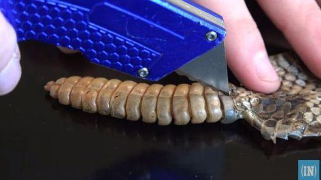 ¿Qué contiene el interior de la cola de una serpiente cascabel? [VIDEO]