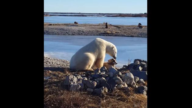 Un oso polar y un perro conmovieron a YouTube con esta escena  [VIDEO]