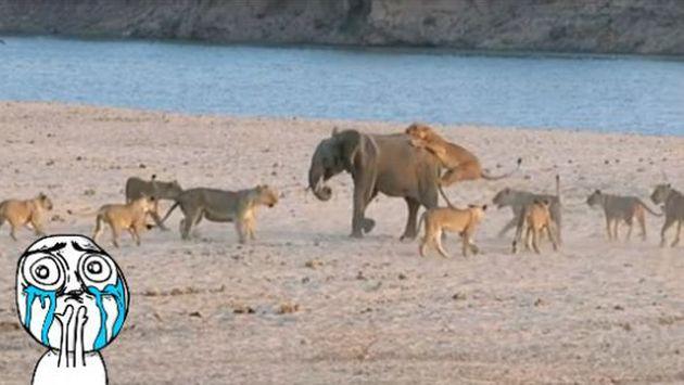 OMG! Mira cómo este pequeño elefante se salvó del ataque de varios leones [VIDEO]