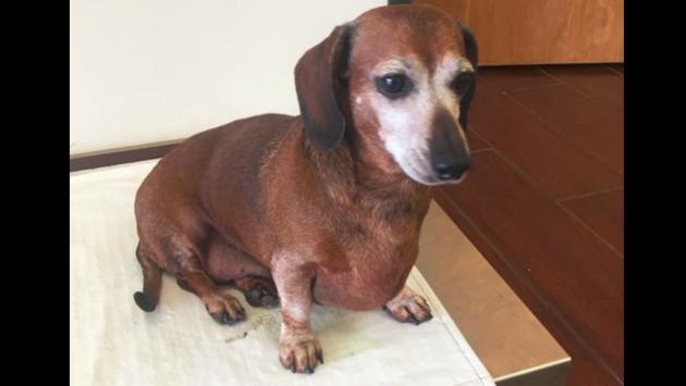 Conoce a 'Vincent', el perrito obeso que fue sometido a dieta y ejercicios [FOTO + VIDEO]