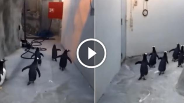 ¡A lo Madagascar! Pingüinos trataron de fugar de un zoológico [VIDEO]