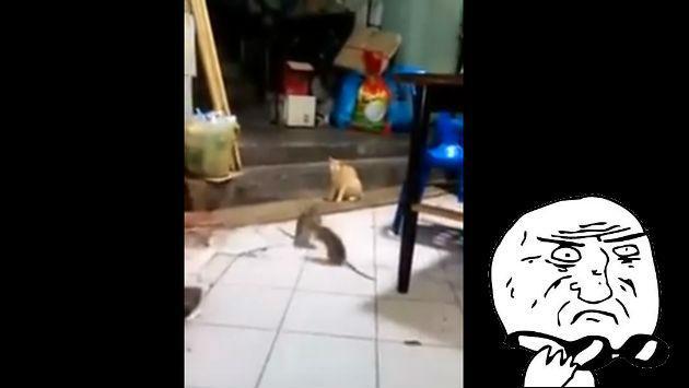 ¡Este gato sorprende por su reacción frente a una pelea de ratas!