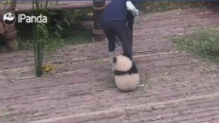 ¡Este pequeño oso panda te enternecerá! [VIDEO]
