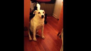 ¡Este perrito sintió tanta culpa que no sabía dónde esconderse! [VIDEO]