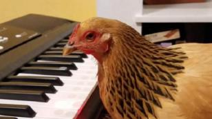 Pollo se vuelve viral en YouTube tras tocar esta canción [VIDEO]